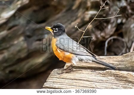 Small Bird With An Orange Breast Sitting On A Log In The Forest