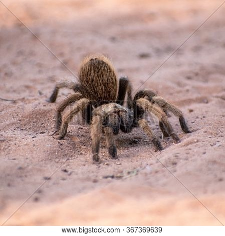 Fuzzy, brown tarantula in the desert sand