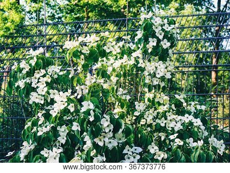 Beautiful White Flowers Blooming On A Climbing Plant. Berlin. Germany