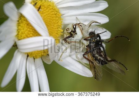 Female Crab Spider With Male On Back - Misumena Vatia  On Ox Eye Daisy - Leucanthemum Vulgare With F