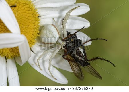 Female Crab Spider - Misumena Vatia  On Ox Eye Daisy - Leucanthemum Vulgare With Fly Prey