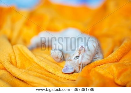 Little red kitten sleeps on sofa. Adorable little pet. Cute child animal. Cat rest at orange plaid. Home sweet home
