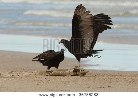 Immature Turkey Vultures Arguing Over a Dead Fish