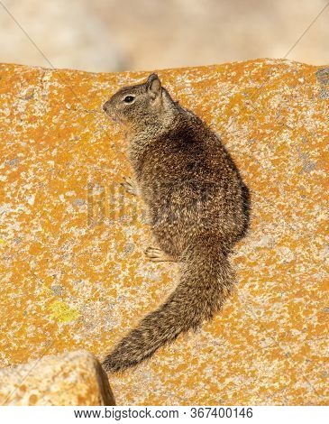 A California Ground Squirrel Resting On A Rock On The Pacific Coast, Ever Watchful For Danger.
