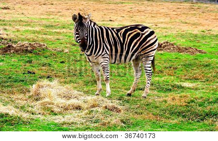 Zebra eating grass