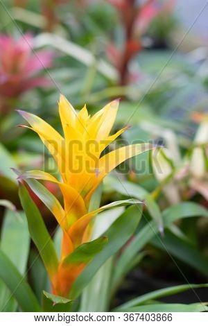Bromeliad Flower Blooming In The Garden. Guzmania Bromeliad