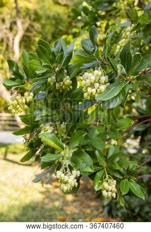 Pieris Japonica, Species Of Beautiful Flowering Shrubs In The Family Ericaceae. Popular Ornamental G