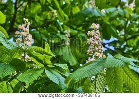 Branch Chestnut Closeup. White Chestnut Flowers Photographed Against The Background Of Lush Green Le