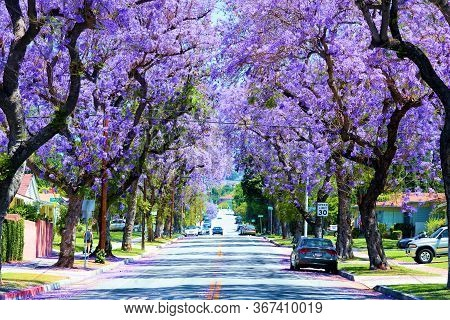 May 22, 2020 In Whittier, Ca:  Tree Lined Residential Street Including Jacaranda Trees With Purple F