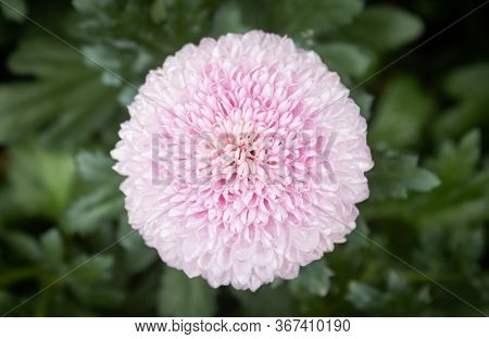 Pink Dahlia Flower In Garden On Center Frame. Natural Dahlia Flower Or Dahlia Bouquet On Green Leave
