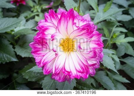 Purple Or Violet Dahlia Flower In Garden On Center Frame In Zoom View. Natural Dahlia Flower Or Dahl