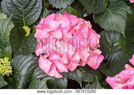 Pink Hydrangea Flower In Garden In Center Frame. Natural Hydrangea Flower Or Hydrangea Bouquet With