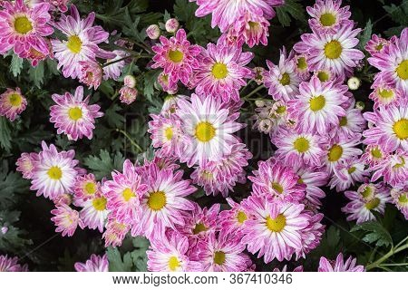 Purple Chrysanthemum Flower And Green Leaves In Garden In Wide Angle View. Natural Chrysanthemum Flo