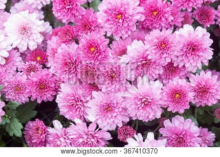 Purple Or Violet Chrysanthemum Flower And Green Leaves In Garden In Wide Angle View. Natural Chrysan