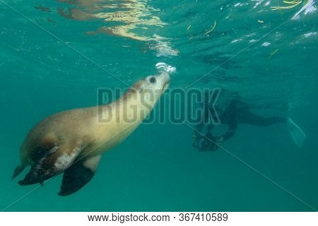 Underwater photographer snorkels with sea lion