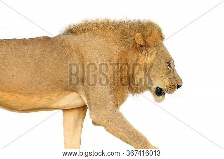 Southern Lion (panthera Leo Melanochaita) Or African Lion. A Large Very Blond Dominant Male, Typical