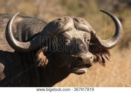 The Detail Of Head Of African Buffalo Or Cape Buffalo (syncerus Caffer) With Red-billed Oxpecker (bu