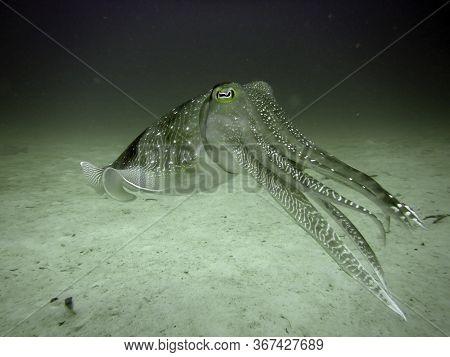 Cutterfish Is Coming Underwater In Mabul Island In Malaysia