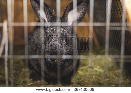 Breeding Rabbits. Rabbits On A Farm In A Wooden Cage. Rabbits In Captivity