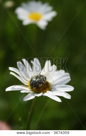 The Beetle On The Flower.