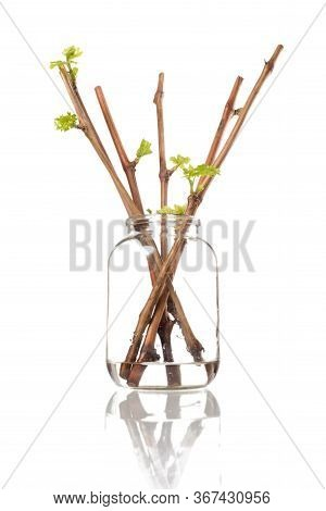 The Process Of Growing Grapes Saplings From The Vine. Germinated Vine Grapes In A Glass Jar On A Whi