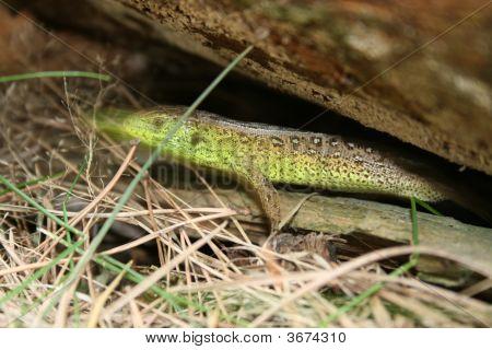 The Green Lizard.