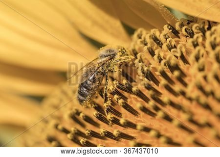 Closeup A Honey Bee Foraging On A Yellow Sunflower For Production Of Honey As Well As Being Critical