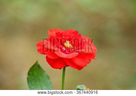 Bright Red Rose Head With Orange Nectar And Dark Red Petals Flower On The Plant In Garden, Red  Rose