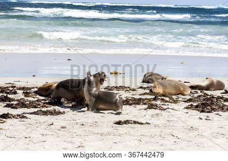 Enraged Australian Sea Lion Running After Another Sea Lion (neophoca Cinerea) On Kangaroo Island Bea