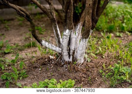 Tree Care, Tree Bark Whitewash In The Season, Young Garden Bloomed Spring. Whitewashing Trees