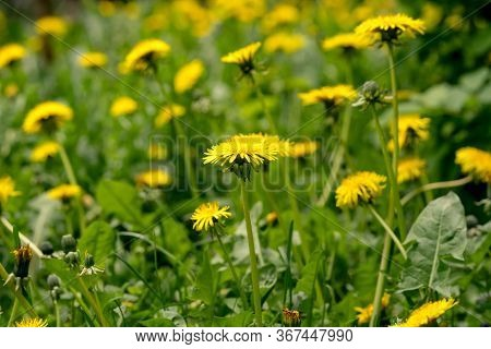 Meadow With Dandelions On A Sunny Day. Dandelions In Spring. Flowering Dandelions Closeup,