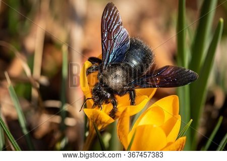 A Big Male Carpenter Bee (xylocopa Violacea) Feeding On A Yellow Crocus, Sunny Day In Spring, Vienna