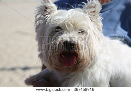 West Highland Terrier dog. A beautiful white dog smiles. family pet dog. west highland terrier puppy.