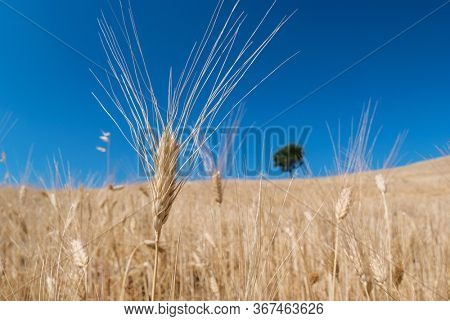 landscape Sicily countryside with ear of wheat, on background at blurred solitary tree at horizon against blue sky