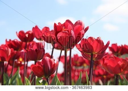 Red And Purple Tulips On The Flower Bulb Fields In The Netherlands