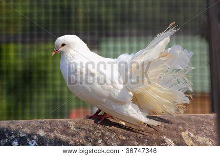 Purebred Pigeon