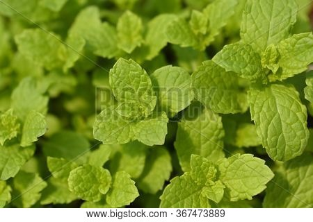Moroccan Mint Leaves - Latin Name - Mentha Spicata Var. Crispa Moroccan