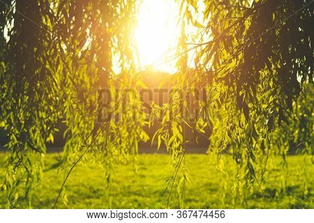Nature Background. Willow Branches Descending To The Grass. Warm Sunny Summer Evening, Golden Hour.