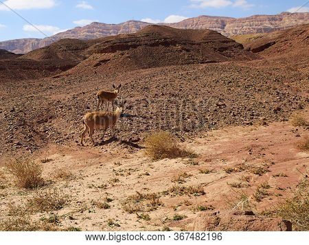 Two Young Nubian Ibex (capra Ibex Nubia-na) Looking At The Camera Timna Park, Negev Desert, Israel -