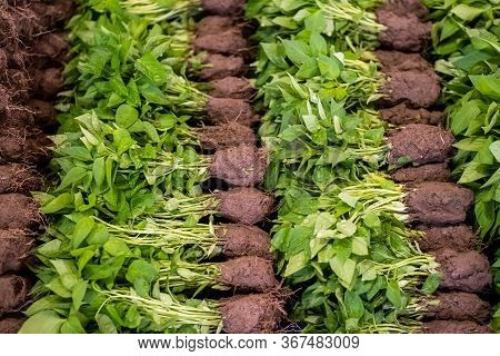 Close Up Of Green Pepper Seedlings With Roots Ready For Plantation Sold In Green Grocery Bazaar.