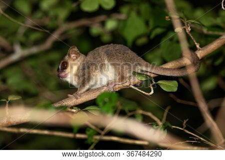 A Mouse Lemur Moves Along The Branches Of A Tree