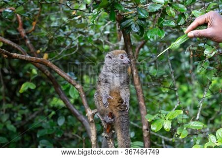 One Small Lemur On A Branch Eats On A Blade Of Grass