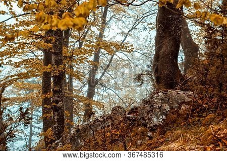 Autumnal Forest Nature. Autumn In Forest. Nature. Old Trees Forest In Autumn. Natural Environment. F