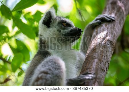 One Close-up Of A Lemur On A Tree