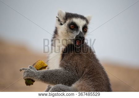 One Ring-tailed Lemur With A Banana In Close-up