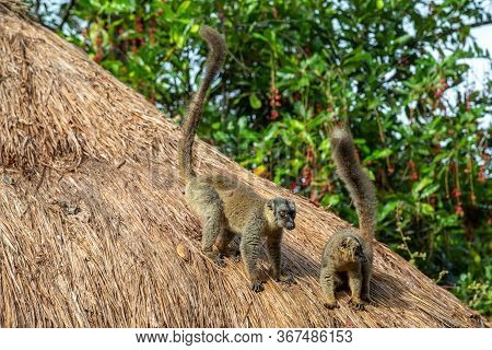 A Two Lemurs Play On The Thatched Roof Of A House