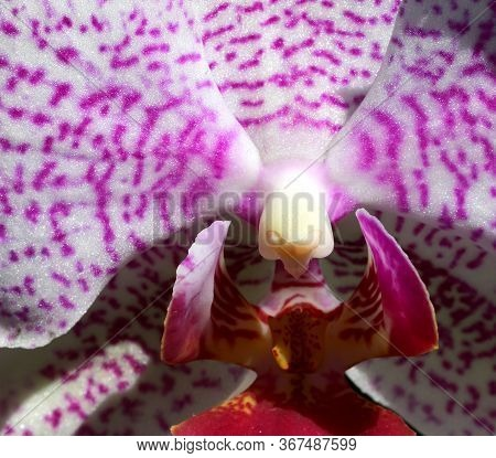 Inside The Orchid Flower And Among The Petals Are The Pistil And Stigma