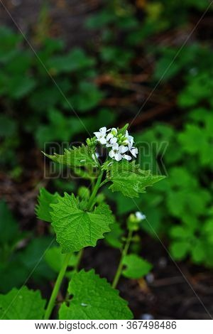 Garlic Mustard - Alliaria Petiolata A Plant With Small White Flowers