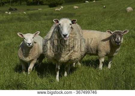Sheep And Lambs In Lush Green Fields Of The Woolley Valley, An Area Of Outstanding Natural Beauty In