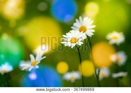 Abstract blurred nature background white common chamomile. Abstract nature bokeh  pattern